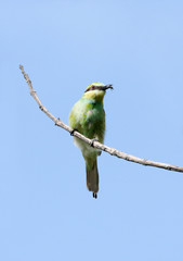 A beautiful green bee-eater with bee