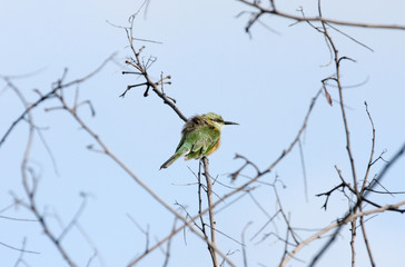 A bee-eater perched on a branch