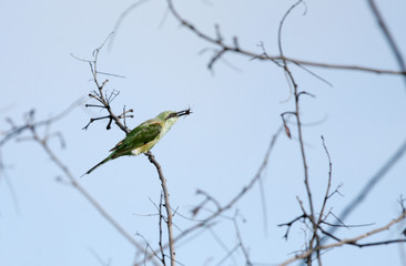 green bee-eater perched on branch with prey