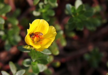 Honeybee taking nectar from yellow Wingpod Purslane