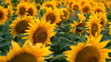 Sunflowers. Shot with motorized slider