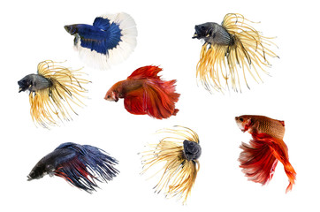 Group ofSiamese fighting fish,  on white background