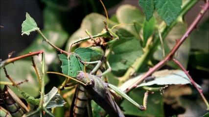 Laubheuschrecke (Giant Grasshoper) Tropidacris collaris