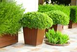 Fototapety Garden pots with lush bushes