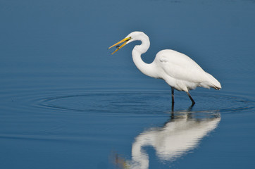 Great Egret Eating Fish