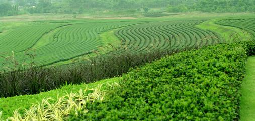 tea farm on the hill