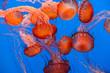 Sea Nettle Jellyfish background