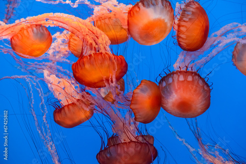 Sea Nettle Jellyfish background