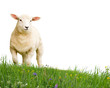Sheep isolated - 67431285