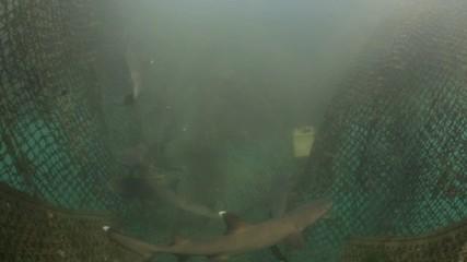Juvenile white tip reef sharks in ocean conservation pen