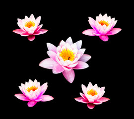 Water lily isolate on the black background. Pink Lotus Flower