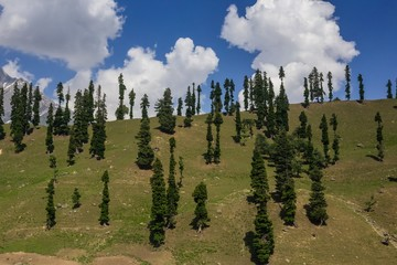 Hill with Pine trees
