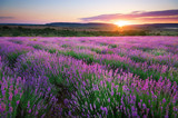 Fototapety Meadow of lavender.