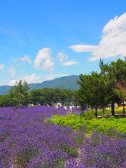 Lavender in the Yagisaki Park at Lakeside of Kawaguchi