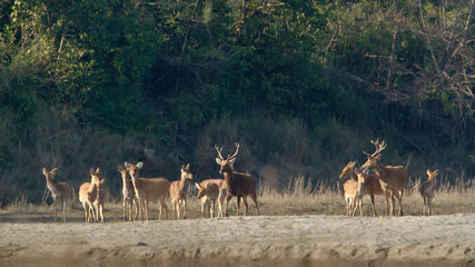 Large group of Swamp Deer in Bardia, Nepal.