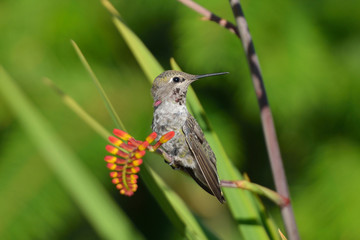 Annas Hummingbird standing on Crocosmia flowers