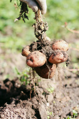 Raw potato root in hands, country living