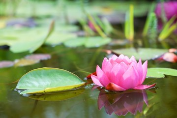 Red water lily flower and leafs