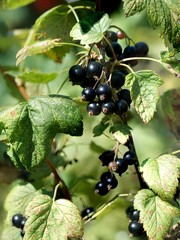 Ripe black currants still on the bush