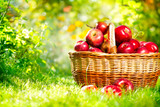 Fototapety Organic Apples in a Basket Outdoor