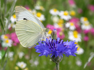 close up of white butterfly sitting on cornflower