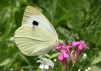 close up of white cabbage butterfly