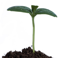 Green seedling growing from soil