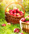 Organic Apples in a Basket outdoor. Orchard. Autumn Garden