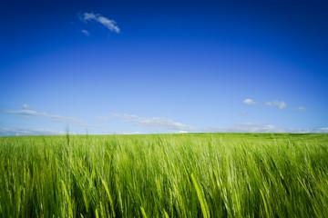 Wogendes Getreidefeld