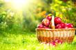 Organic Apples in a Basket outdoor. Orchard. Autumn Garden