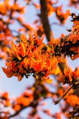 Butea monosperma Flower