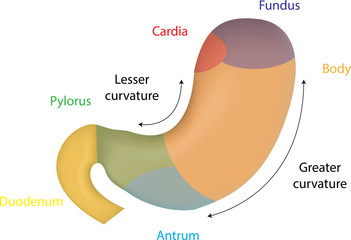 Color Anatomy of the Stomach