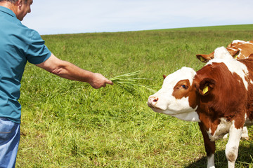 Farmer holds cow grass to eat