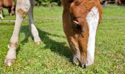 Young foal grazing green grass