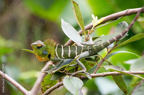 Keuken foto achterwand Kameleon Chamäleon, Sri Lanka