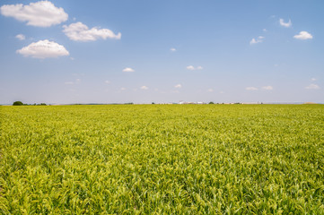 Field of green millet with sky in the background
