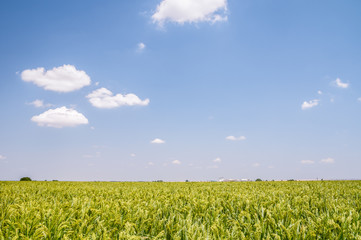 Field with green millet on a Sunny day with blue sky