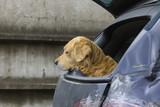 patient and loyal pet waiting for his master in the car poster
