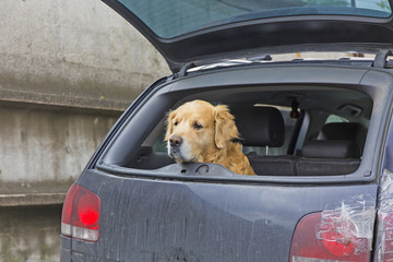 patient and loyal pet waiting for his master in the car