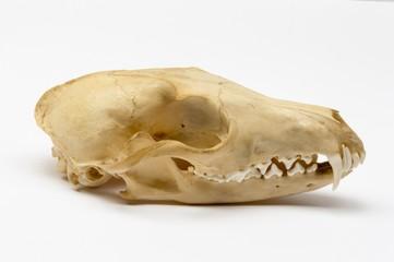 Fuchsschädel von der rechten Seite