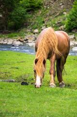 Horse grazes