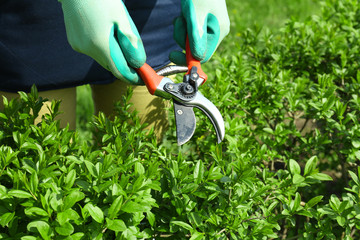 Pruning bushes in garden