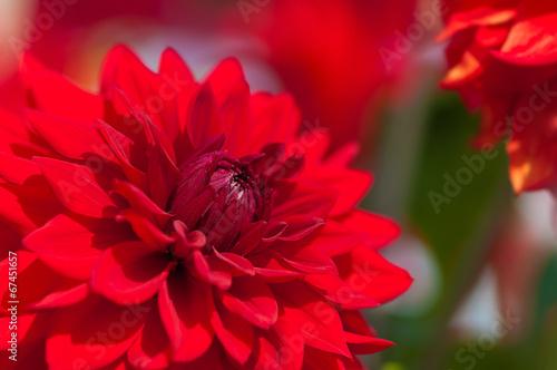 Fotobehang Dahlia Rote Dahlie, Dahlia, Dahliensorten, Sommerblumen