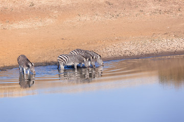 Zebra's Four Water Mirror Wildlife