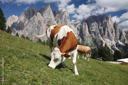 mucca al pascolo valle di fassa dolomiti