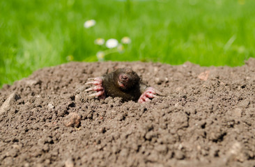 mole snout and claws sticking out of the molehill