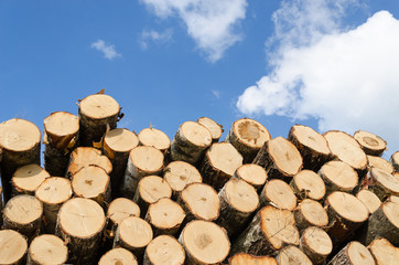 large pile of pine logs on blue sky background