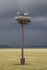 Young storks.