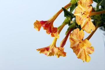 Flores de Don Pedro