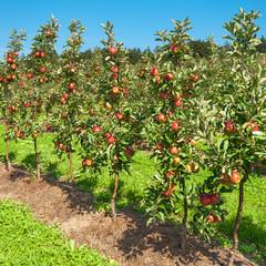 Apfelbäume, Obstplantage, Landwirtschaft, Sommer